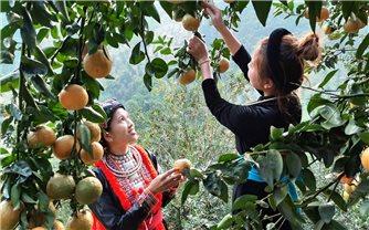 Hàm Yên (Tuyên Quang): Chủ động xây dựng phương án hỗ trợ tiêu thụ cam cho nông dân