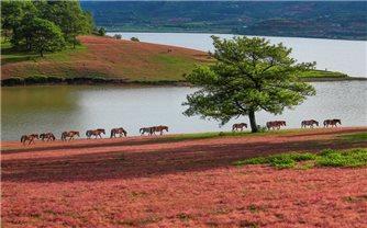 Đồi cỏ hồng thơ mộng tựa như
