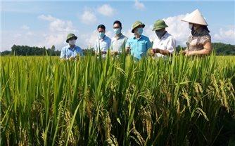 Người Sán Dìu sản xuất chuỗi lúa VietGAP