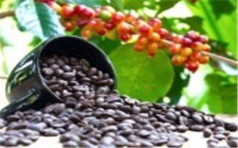 Giá cà phê hôm nay 15/10: Giữ ổn định