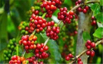 Giá cà phê hôm nay 19/10: Giảm 100 đồng/kg