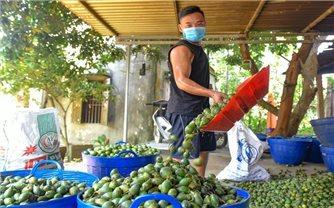 Nghề sấy cau xuất khẩu ở Minh Sơn