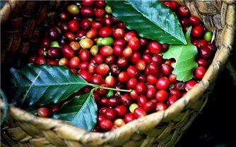 Giá cà phê hôm nay 22/10: Tăng ngày thứ 3 liên tiếp
