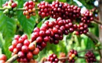 Giá cà phê hôm nay 25/10: Trong khoảng 40.000 - 40.900 đồng/kg