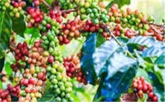 Giá cà phê hôm nay 18/10: Trong khoảng 39.500 - 40.400 đồng/kg