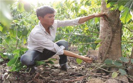 Đăk Lăk: Nóng tình trạng phá hoại cây trồng