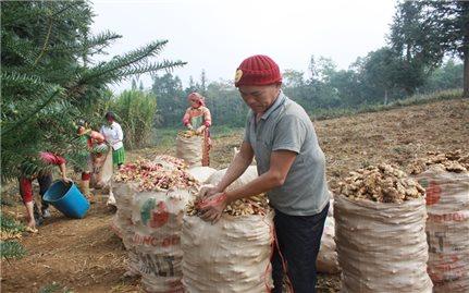 Hà Giang: Nông dân phấn khởi vì gừng bán được giá,