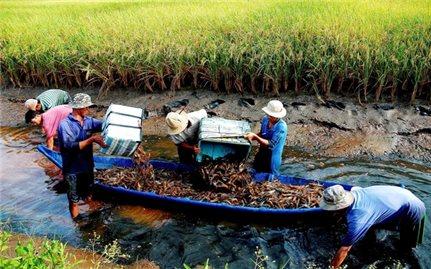 Cà Mau: Nông dân đổi đời nhờ nuôi tôm càng xanh trong ruộng lúa