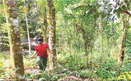 """Đề án đầu tư vùng chuyên canh cây quế Trà Bồng (Quảng Ngãi): Vừa """"khai sinh"""" đã """"khai tử"""""""