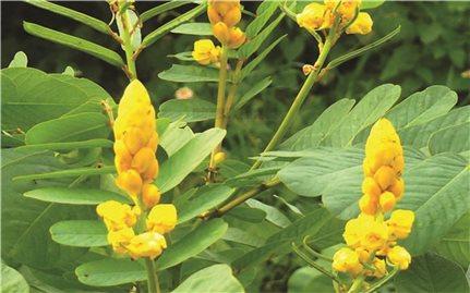 Bài thuốc chữa bệnh từ cây muồng trâu