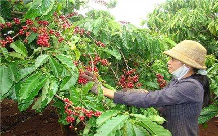 Giá cà phê hôm nay 28/7: Thị trường trong nước giảm nhẹ