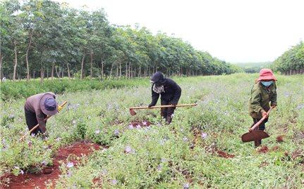 Phát triển tiềm năng cây dược liệu ở Chư Sê