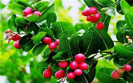 Hướng dẫn kỹ thuật trồng và chăm sóc cây siro