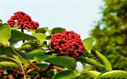 Các bài thuốc chữa bệnh từ cây ngô thù du