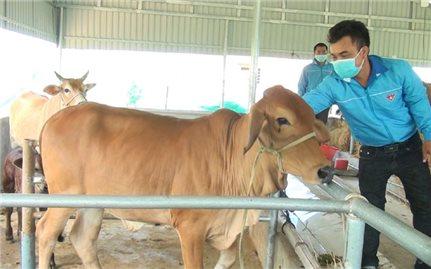 9X nuôi bò thoát nghèo