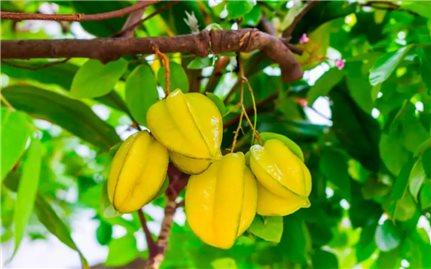 Hướng dẫn kỹ thuật trồng và chăm sóc cây khế ngọt