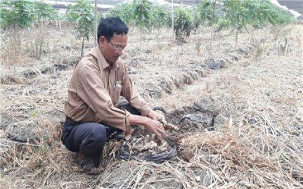 Nông dân điêu đứng vì trồng gừng liên kết