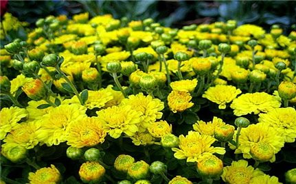 Một số bài thuốc với hoa cúc vàng