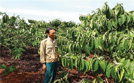 Sản xuất cà phê tại Gia Lai: Tiêu chuẩn VietGap, bán giá bình dân