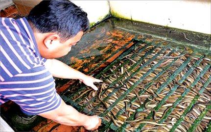 Sinh sản nhân tạo giống lươn đồng