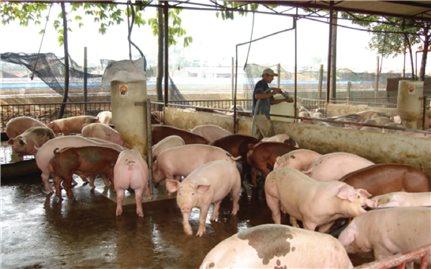 Bấp bênh nghề chăn nuôi heo