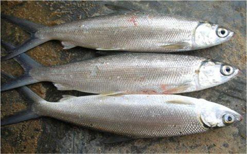 Cách điều trị một số bệnh thường gặp trên cá măng