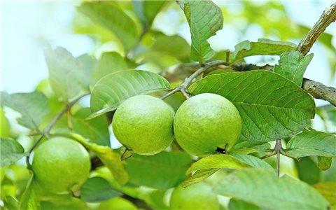 15 bài thuốc chữa bệnh từ cây ổi