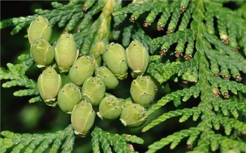 Những bài thuốc thần kỳ từ cây trắc bách diệp