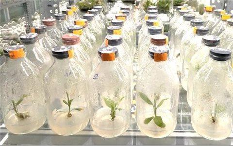 Nhân giống dược liệu quý sâm đá bằng phương pháp nuôi cấy mô