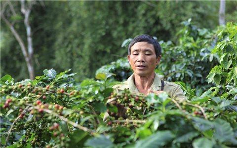 """Điện Biên: Cà phê """"3 được"""" nhưng nhiều nông dân lại """"khóc ròng"""""""