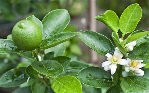 Cách xử lý cây chanh không ra quả