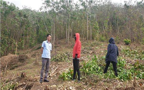"""Mường Lát (Thanh Hóa): """"Vỡ mộng"""" với cây thoát nghèo!"""