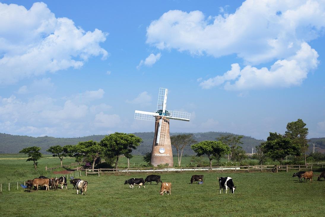 Bò sữa organic được chăn thả tự nhiên trên các đồng cỏ đạt chuẩn hữu cơ châu Âu tại trang trại Vinamilk Organic Đà Lạt