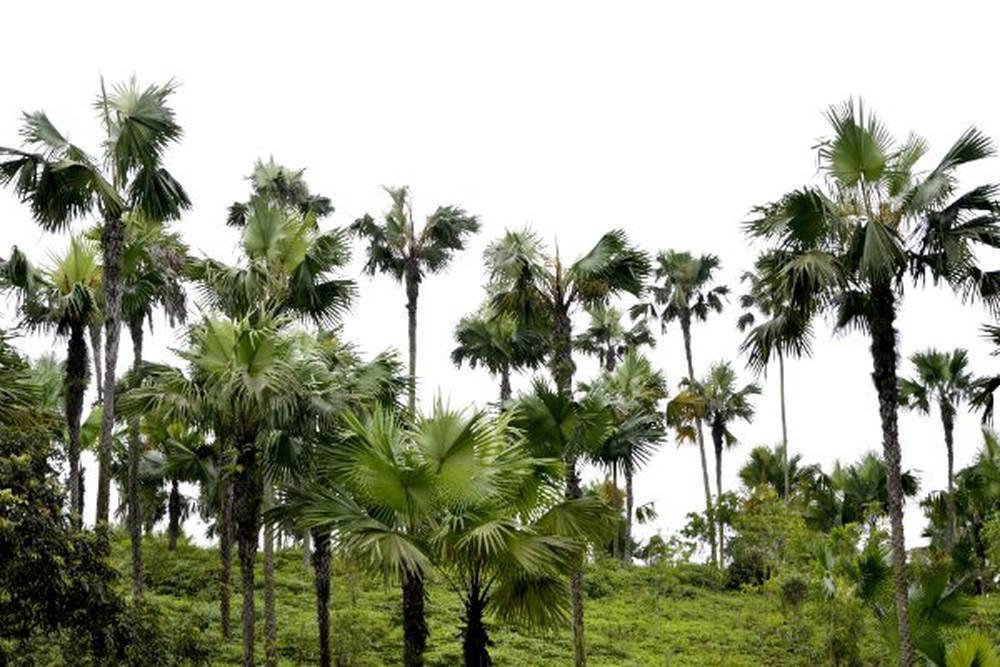 Trên địa bàn tỉnh Phú Thọ, cây Cọ là một trong những biểu tượng của sự gắn kết cộng đồng bền chặt và là một nét văn hóa thiên nhiên độc đáo của vùng đất Tổ.