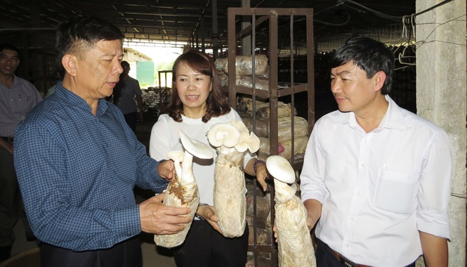 Sản xuất nấm sạch tại HTX Tuấn Linh xã Sơn Lộc, huyện Bố Trạch, Quảng Bình Ảnh: Tâm Phùng - Quang Bửu