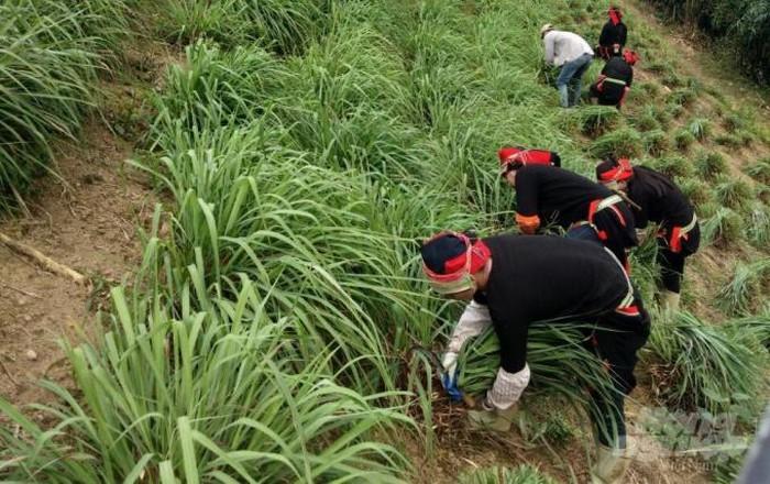Bà con nông dân xóm Nà Mon, xã Nam Cao, huyện Bảo Lâm thu hoạch sả.