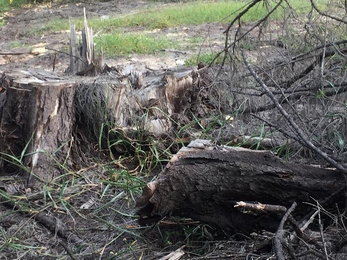 Cận cảnh rừng dương 20 năm tuổi bị đốn hạ