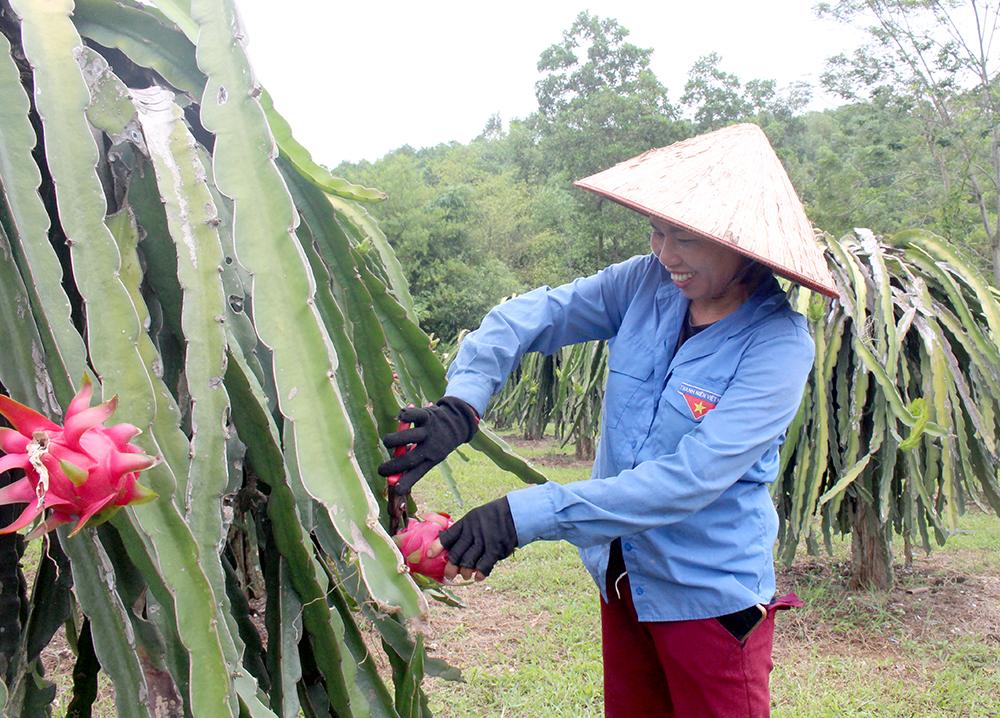 Cây thanh long trên đất Đoan Hùng cho ra trái đều, màu sắc đẹp và độ ngọt cao.