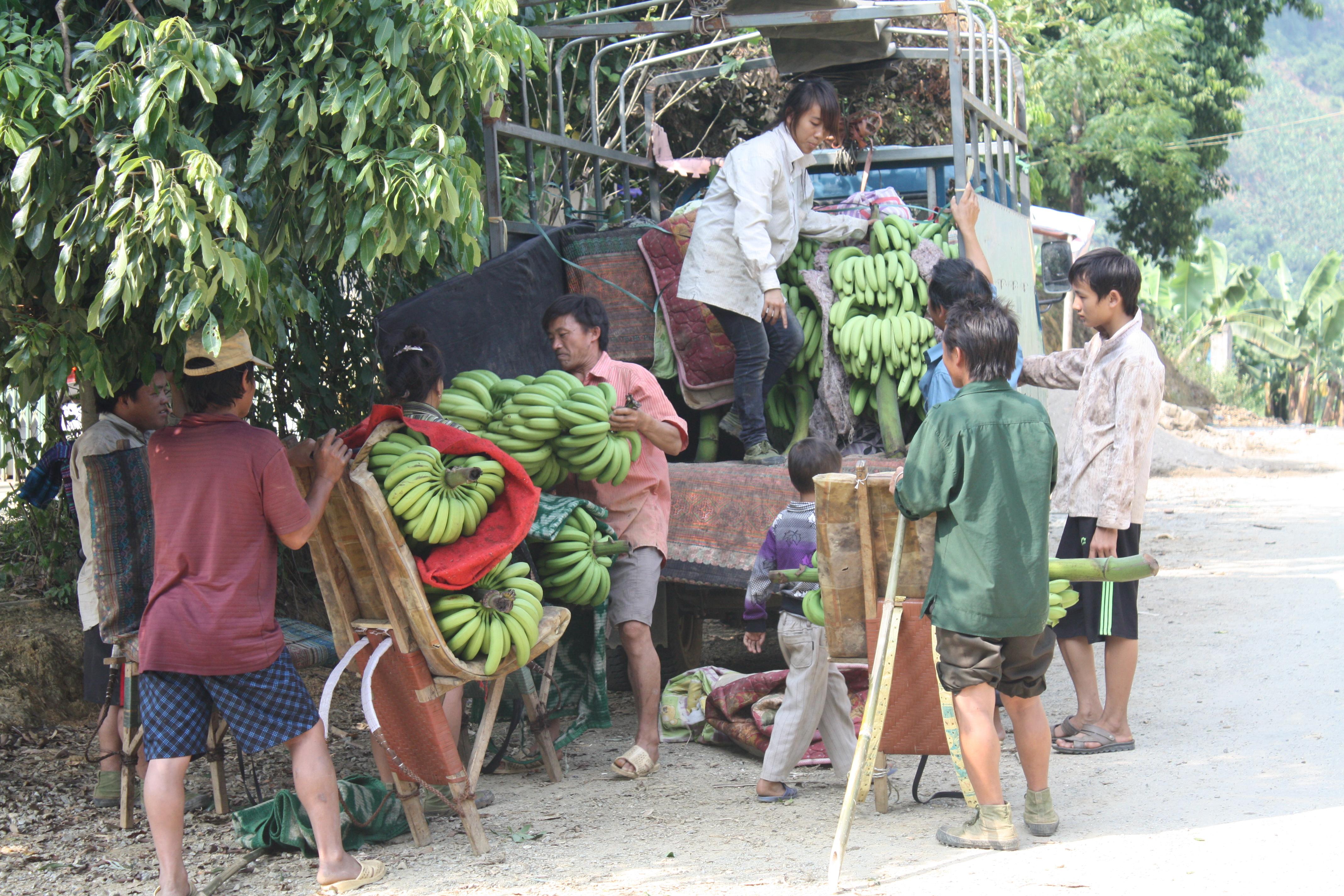 Cây chuối đã và đang mang lại thu nhập cao cho bà con nhân dân ở Cốc Lầy