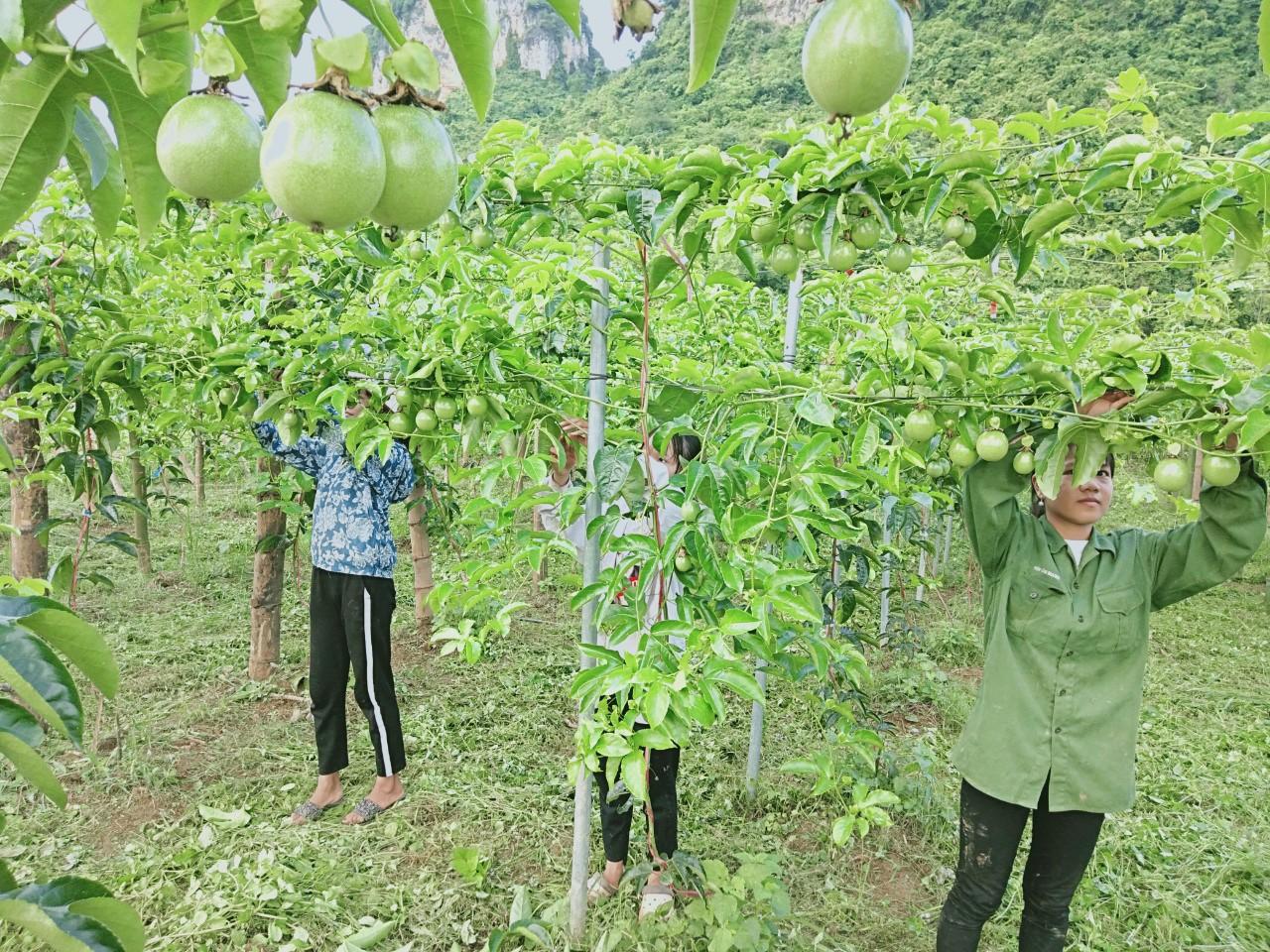 Mô hình trồng cây chanh leo tại xóm Lũng Mòn, xã Lê Lai.