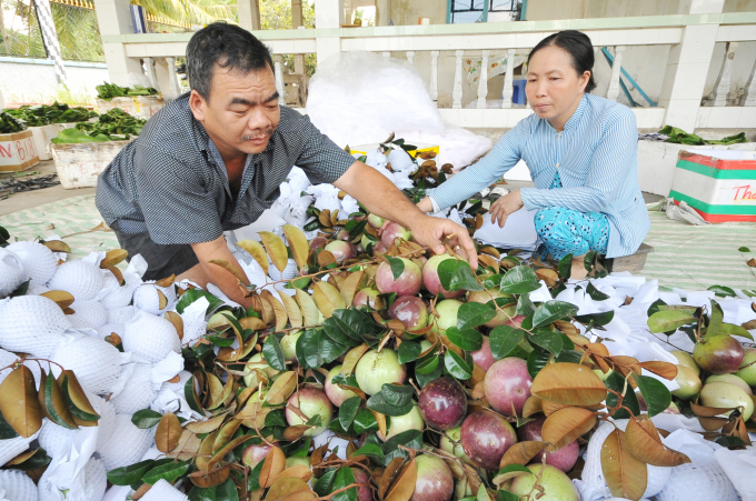 Trái cây của các nhà vườn tiêu thụ khá thuận lợi nhờ áp dụng quy trình sản xuất sạch