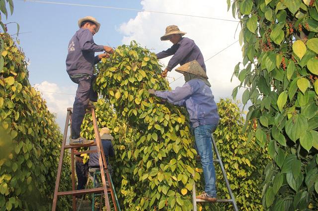 Giá tiêu phải tăng đến 70.000 đồng/kg thì nông dân mới có lãi. (Trong ảnh: Nông dân thu hoạch hồ tiêu)