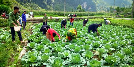 Việc trồng rau sạch đem lại hiệu quả kinh tế cao giúp người dân thoát nghèo