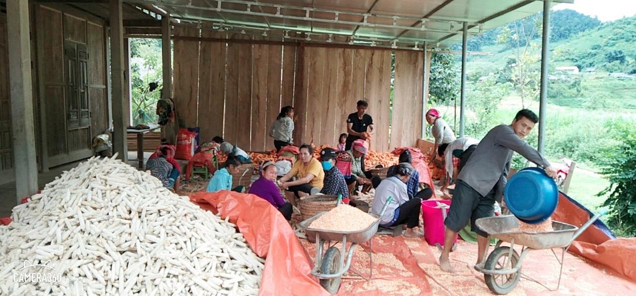 Người dân xóm Lũng Noong, xã Nam Cường, huyện Chợ Đồn thu hoạch sắn