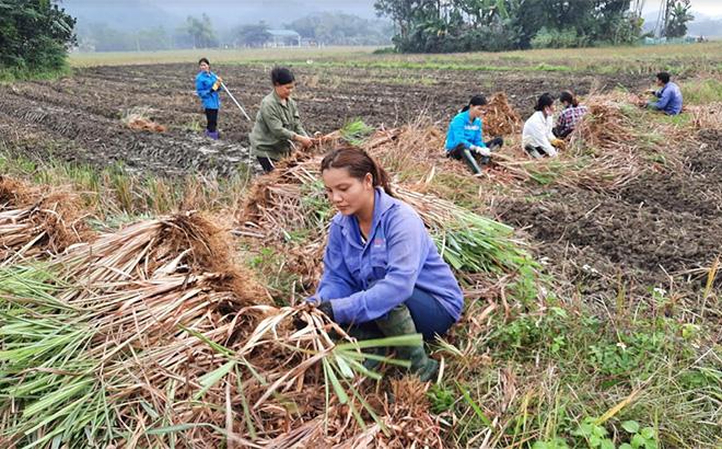 Mô hình trồng cây sả chanh để sản xuất túi lọc thảo dược tại xã Liễu Đô. Ảnh: TL.