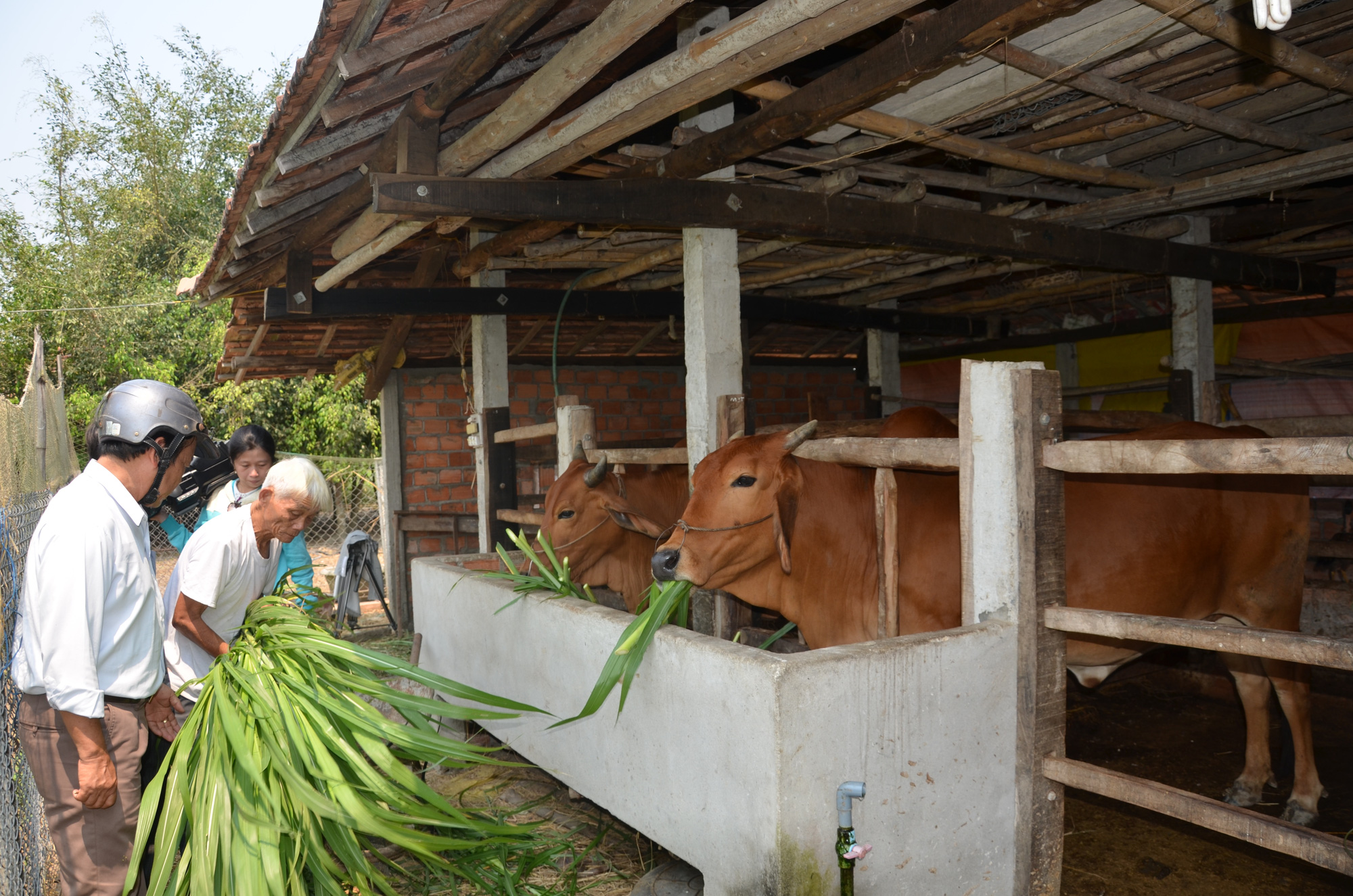 Mô hình nuôi bò giúp người dân miền núi Quảng Ngãi tăng thu nhập