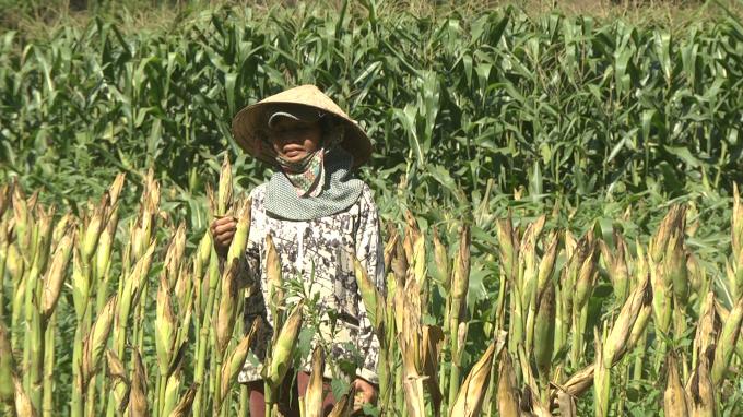 Mô hình nông nghiệp CSA trên cây bắp đem lại năng suất, hiệu quả kinh tế cao cho người dân huyện Đại Lộc.