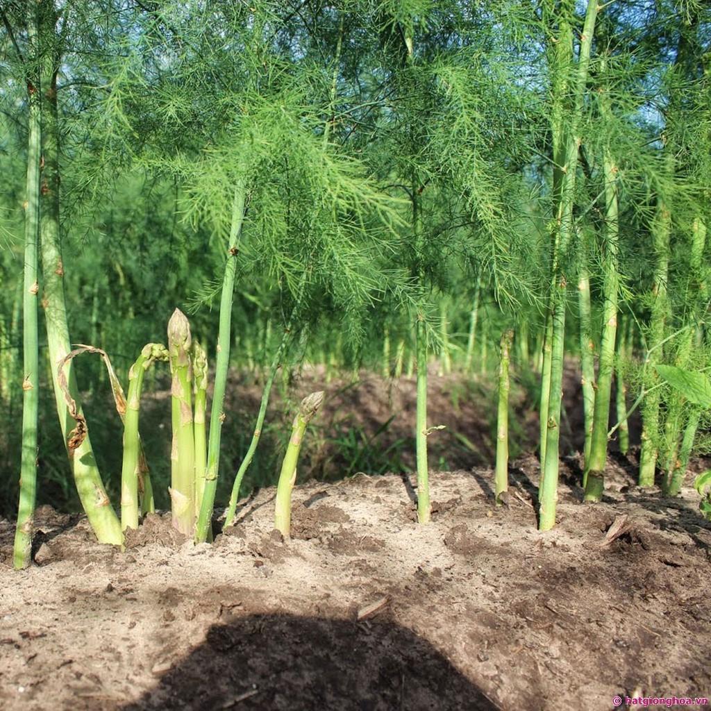 Măng tây là loại cây chỉ trồng một lần nhưng cho thu hoạch kéo dài từ 5 - 7 năm.