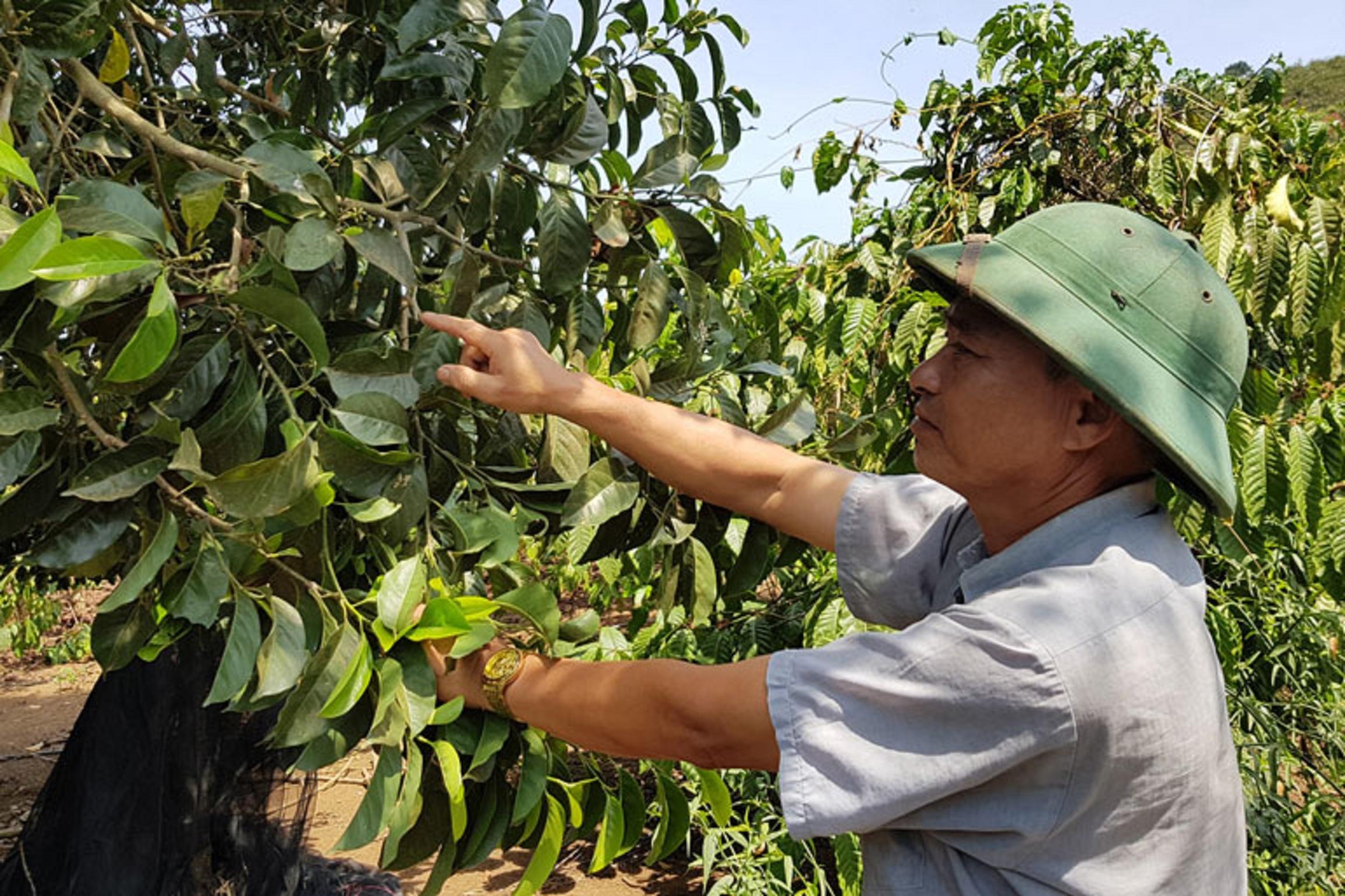 Cây dổi sinh trưởng và phát triển mạnh, phù hợp với vùng đất Di Linh