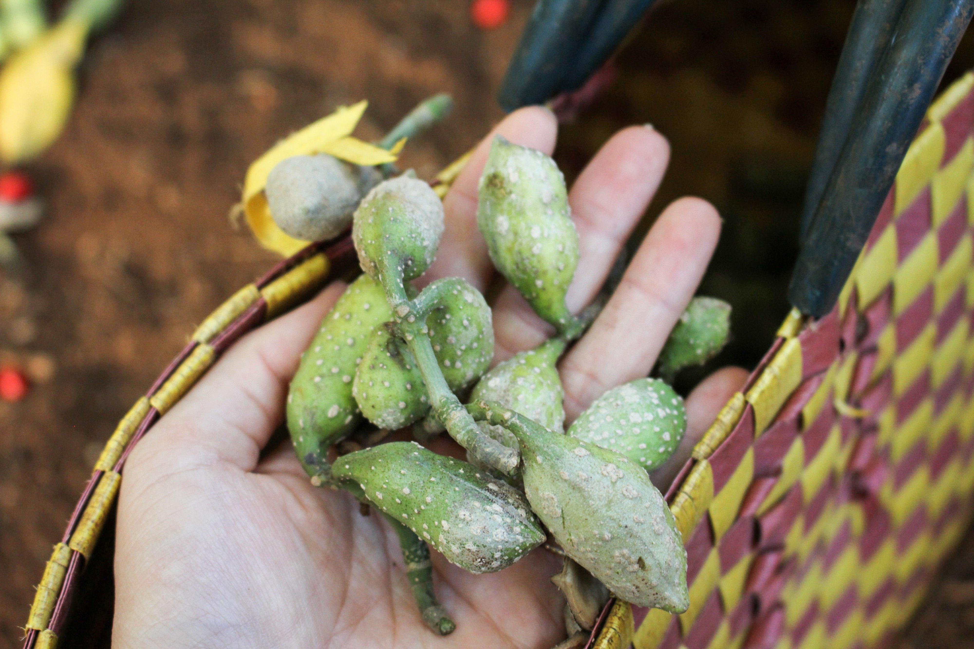 Quả dổi xanh sau khi thu hoạch, tách hạt phơi khô bán với giá trung bình từ 1,7 – 2 triệu đồng/kg